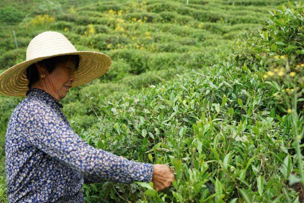 第2回 中国 祁門(キームン)紅茶ツアー